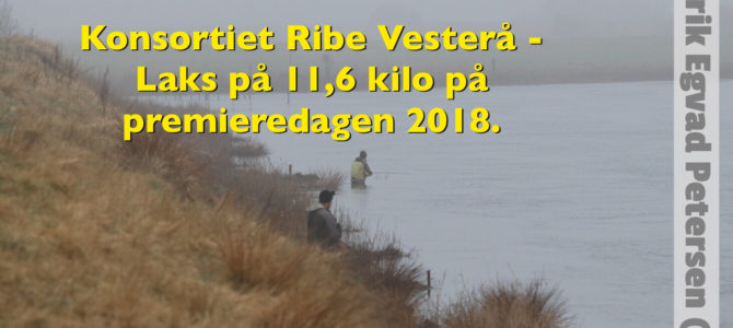 OPDATERET – RIBE: Laks på 11,6 kilo fanget på premieredagen i Ribe Vesterå