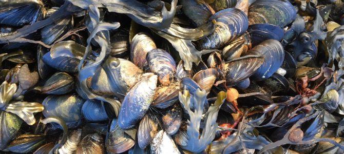 Aabenraa/Sønderborg: Kampen om at bevare blåmuslingen er startet