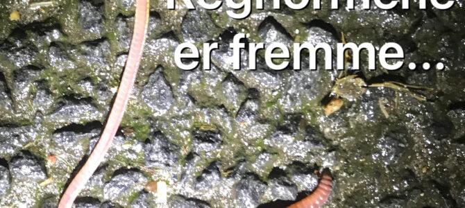 Regnormen – en af de bedste agn til lystfiskeri