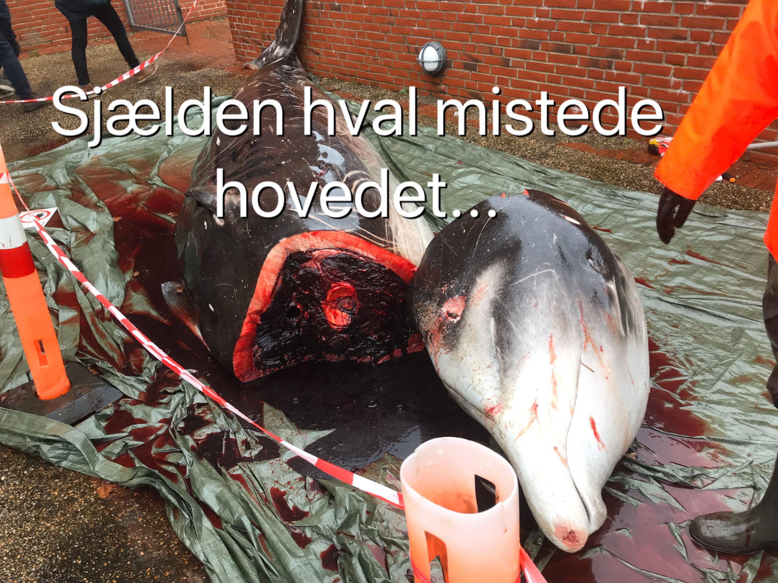 SE VIDEO: Sjælden hval strandet på Rømø