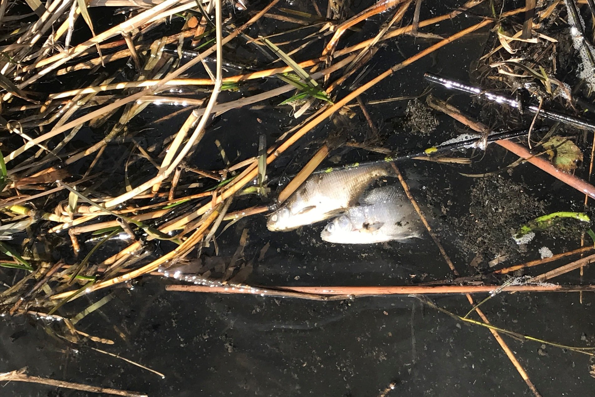 KOLDING: Døde fisk i kanalen mellem Ferup Sø og Dons Søndersø